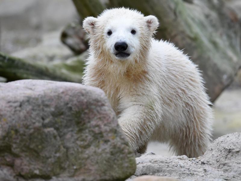 Bild zu Eisbärbaby Lili im Zoo am Meer