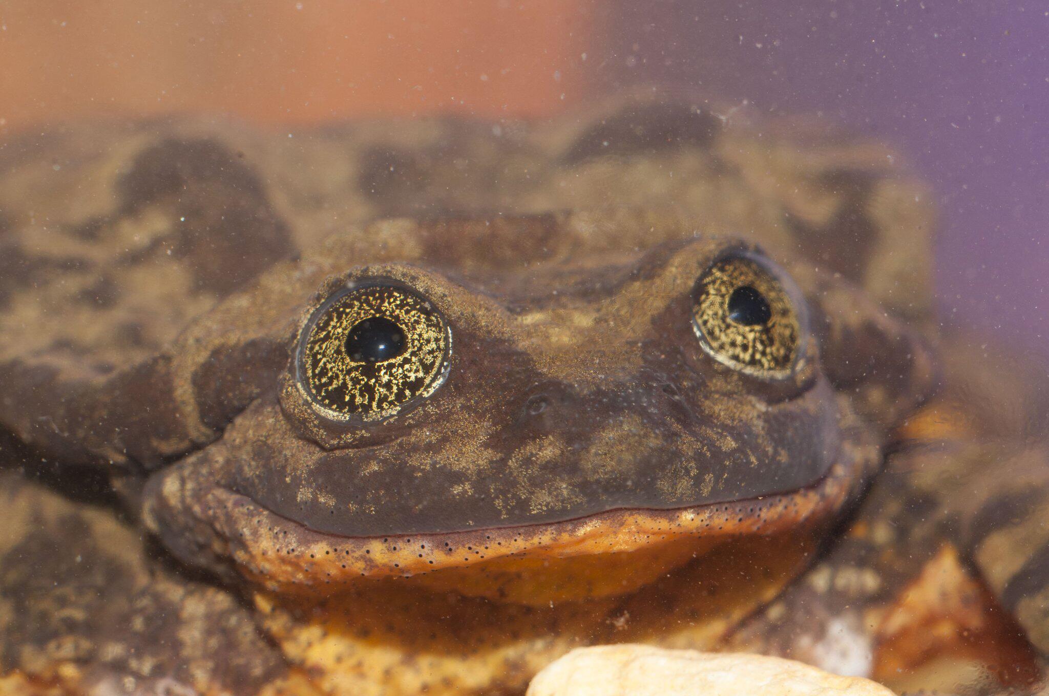 Bild zu Der einsamste Frosch der Welt bekommt ein Date in Bolivien