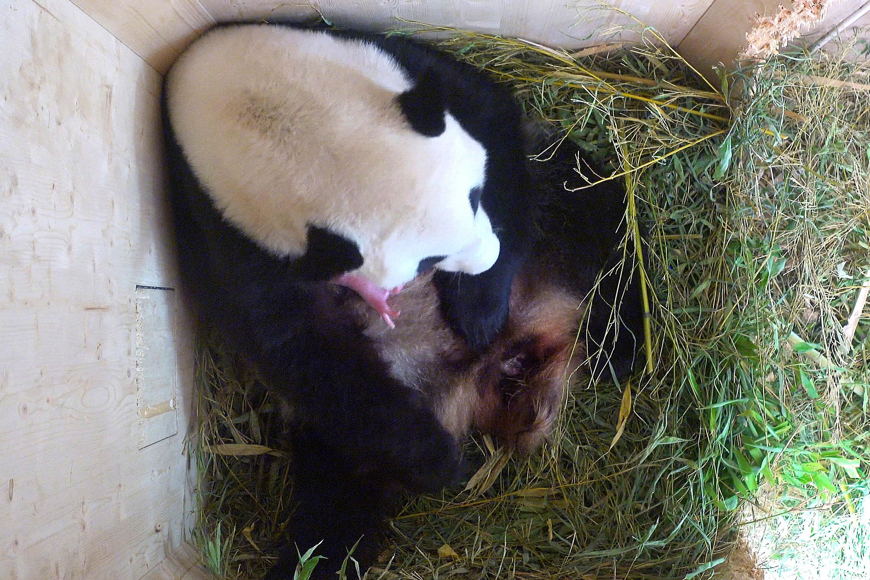 gro er panda in wien geboren tiergarten sch nbrunn gelingt sensation web de. Black Bedroom Furniture Sets. Home Design Ideas