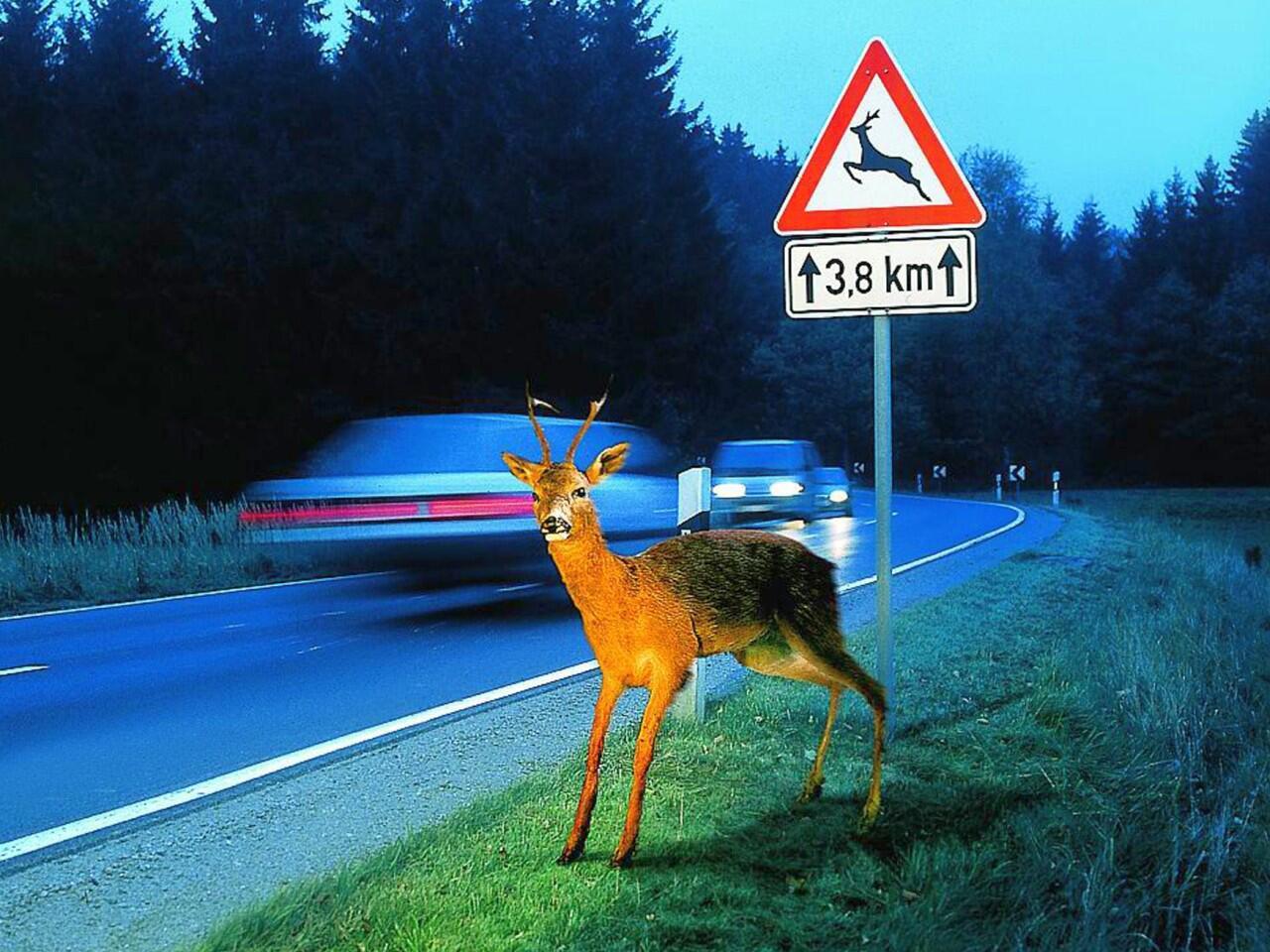 Bild zu Wildunfall: Nach der jährlichen Zeitumstellung im Herbst steigt das Risiko