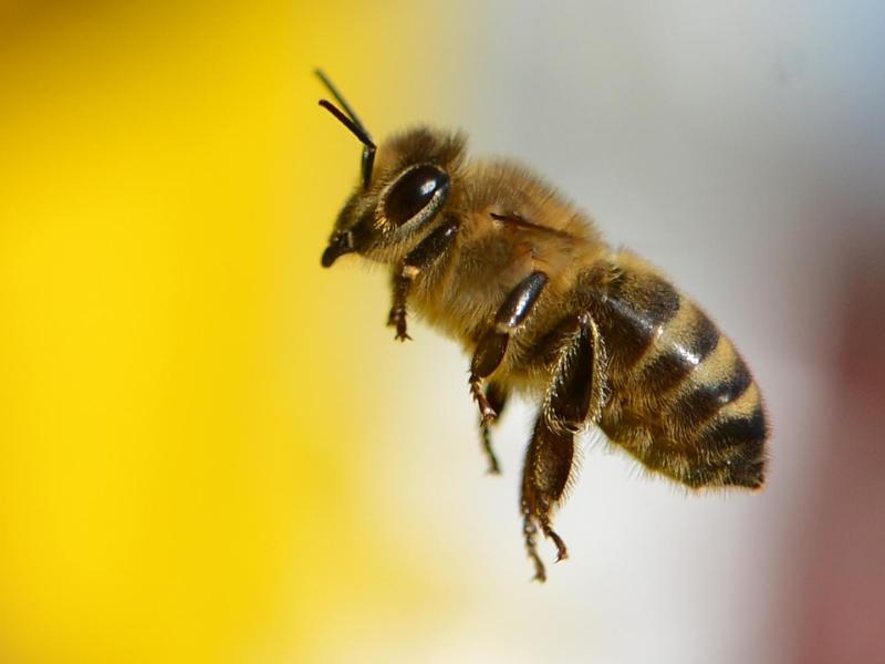 Bild zu Biene im Anflug auf den Bienenstock