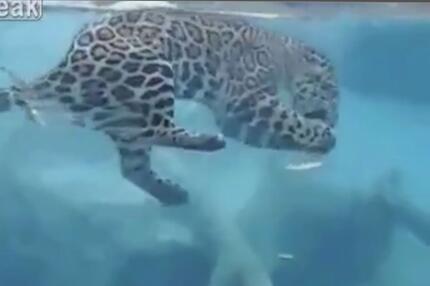 Tauchender Jaguar