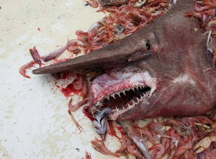 Bild zu Koboldhai