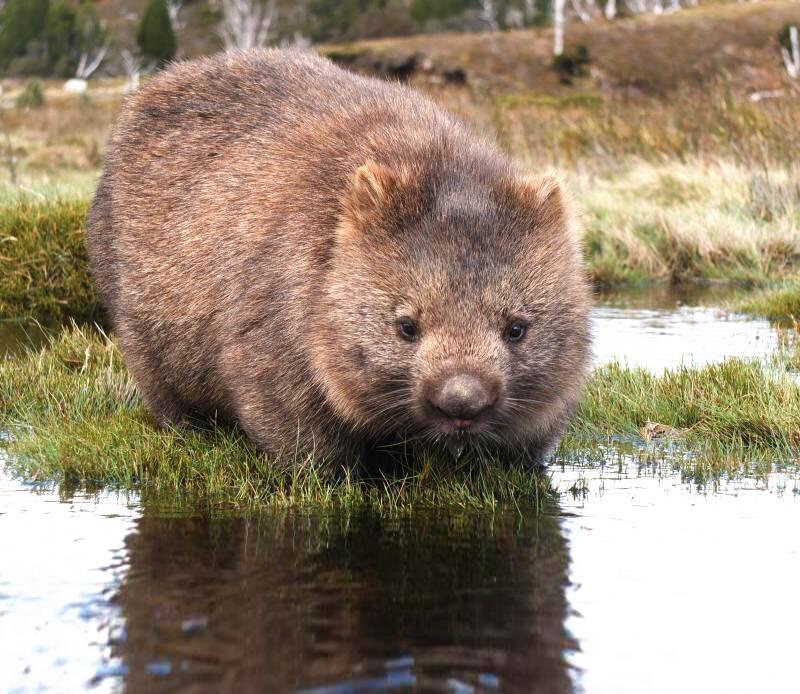 Bild zu Wombat am Wasser