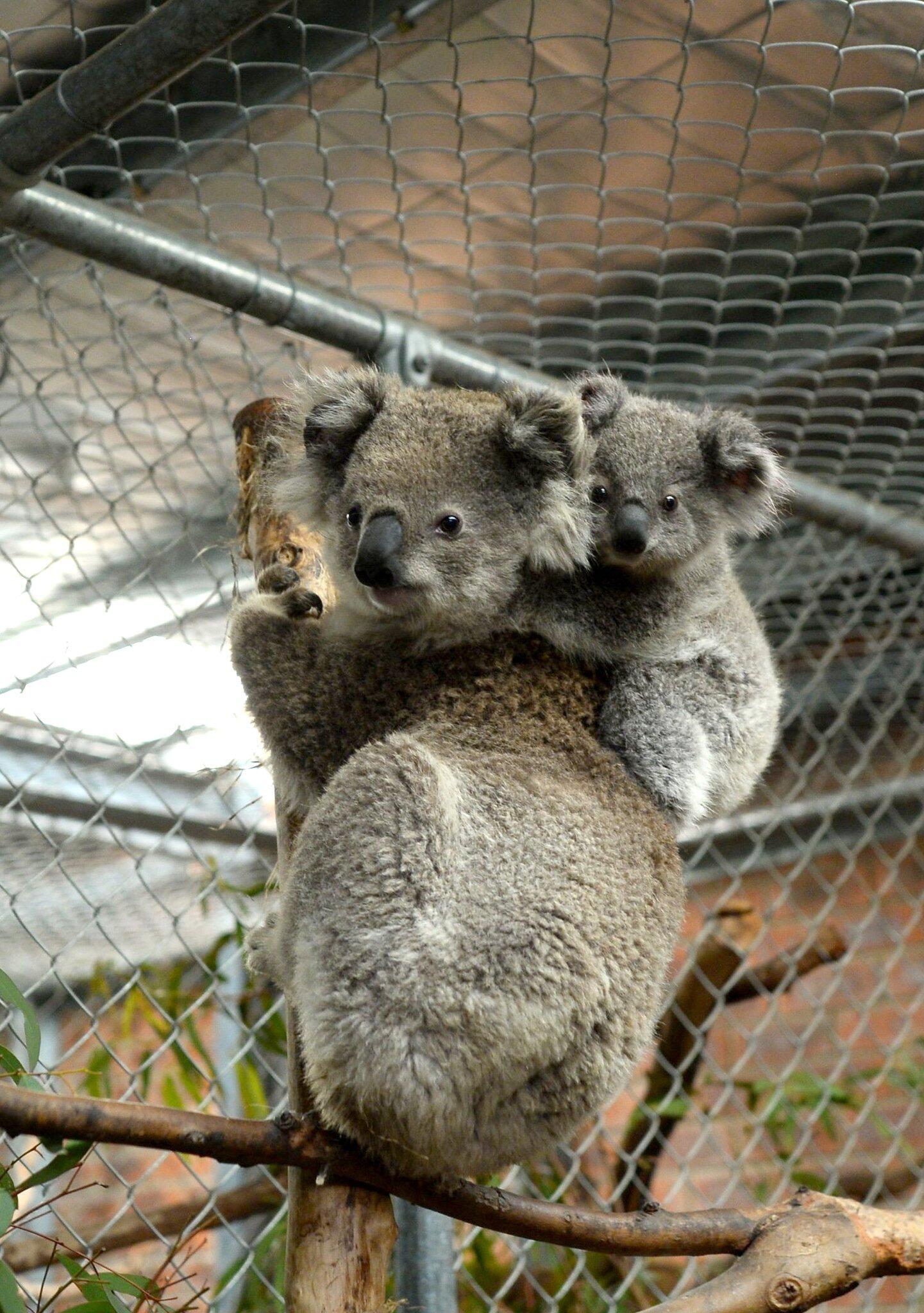 Bild zu «Fünf-Sterne-Hotel» für gerettete Koalas in Australien