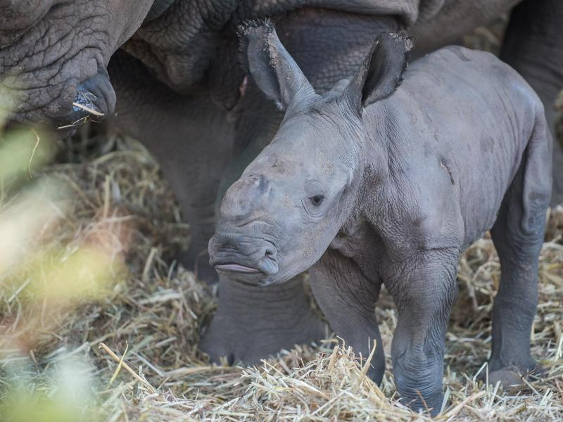 Bild zu Nashorn-Baby in Israel geboren