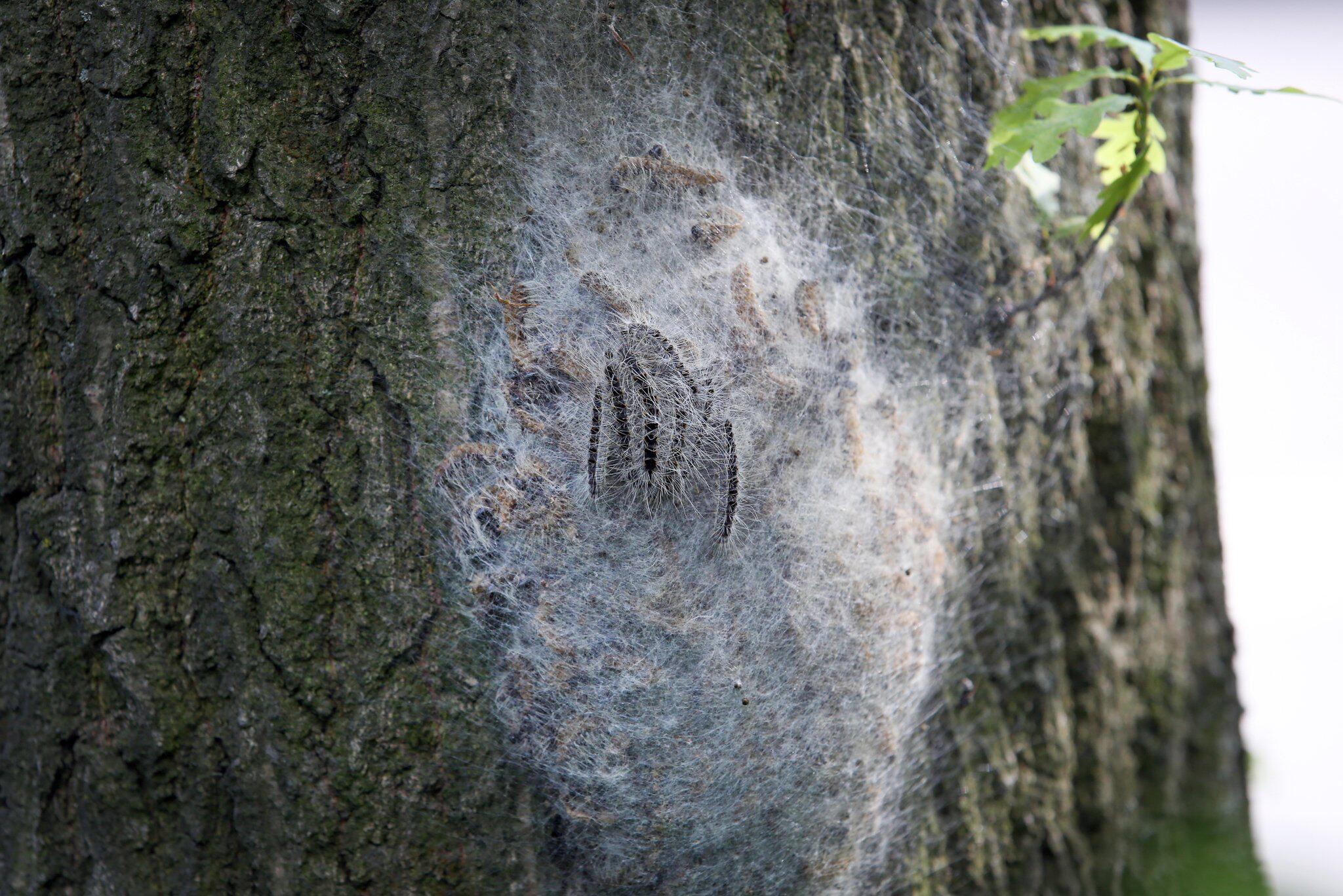 Bild zu Mehr Eichenprozessionsspinner in Sachsen - Gefahr für Menschen