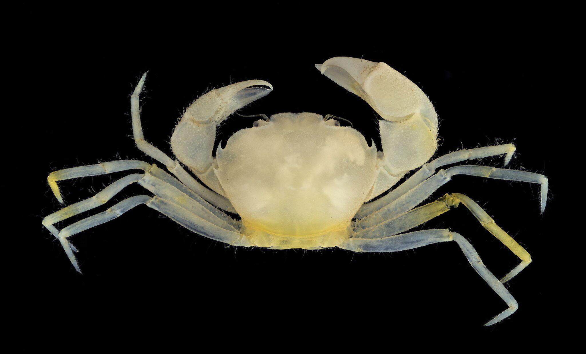 Bild zu Neue Mini-Krabbe entdeckt