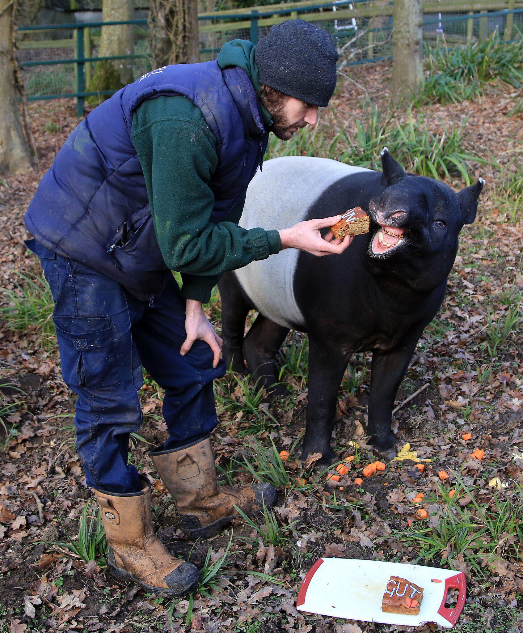 Bild zu Europas ältester Malaysischer Tapir