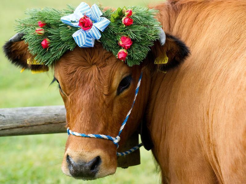 Bild zu Kuh beim Almabtrieb