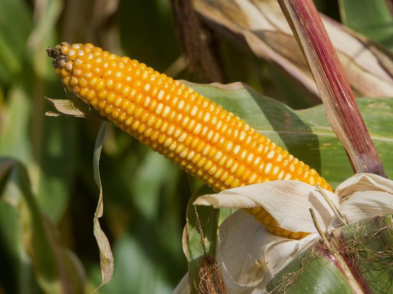Bild zu Gehaltvoller Mais