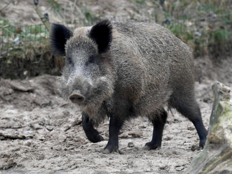 Bild zu Wildschwein