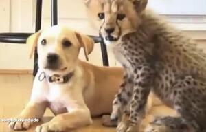 Hund Gepard