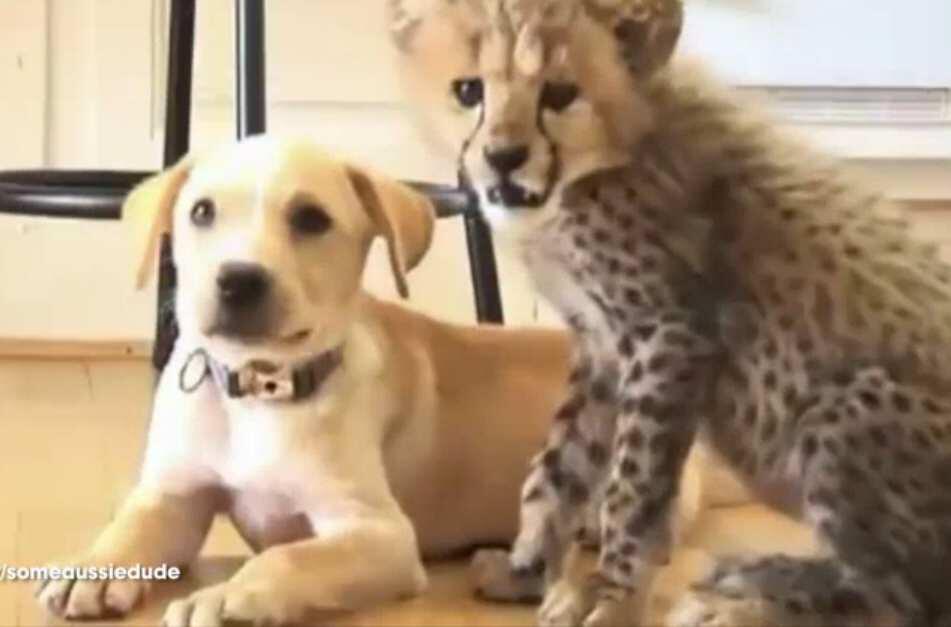 Bild zu Hund Gepard
