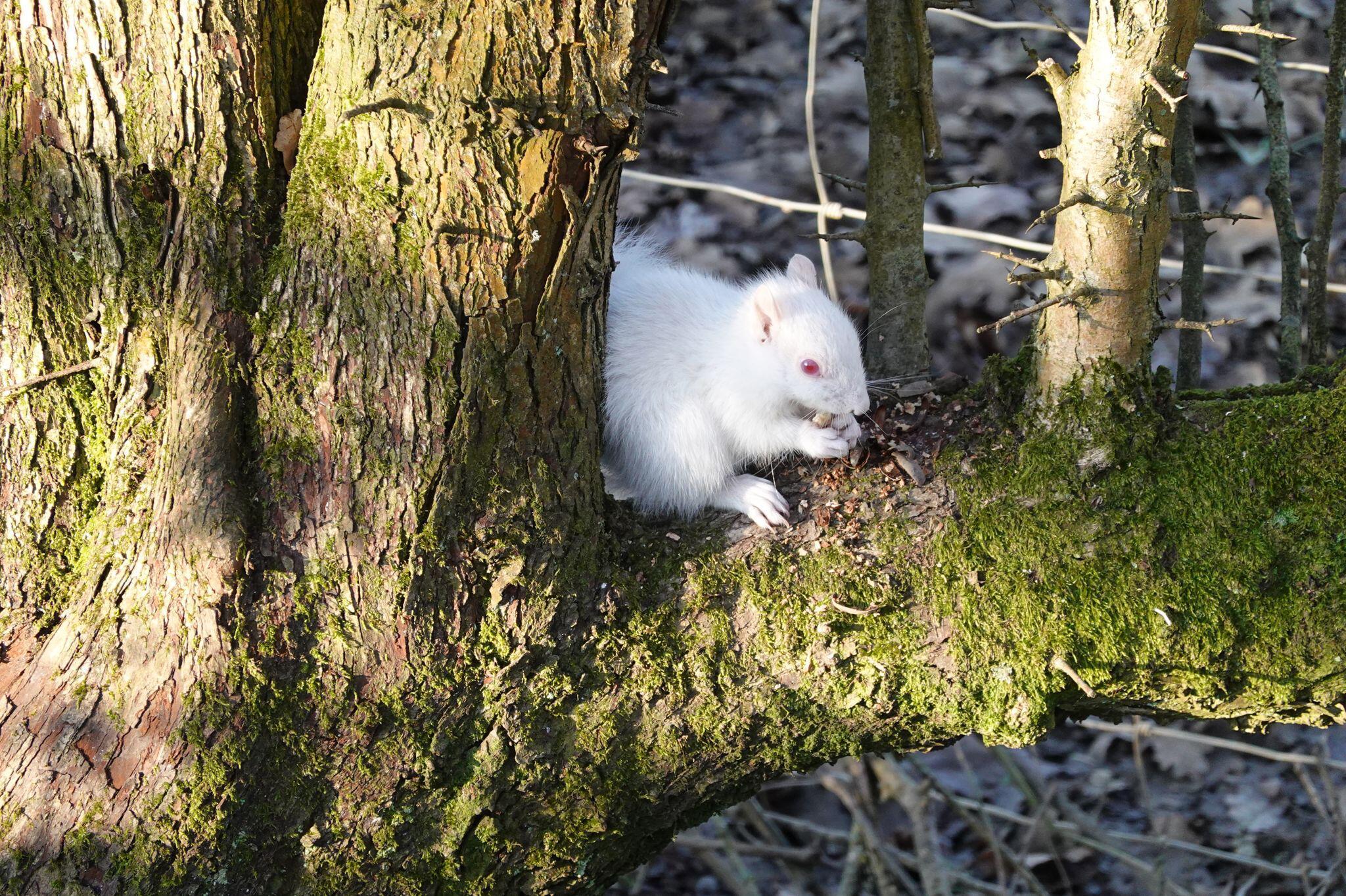 Bild zu Seltenes Albino-Eichhörnchen in englischem Park gesichtet