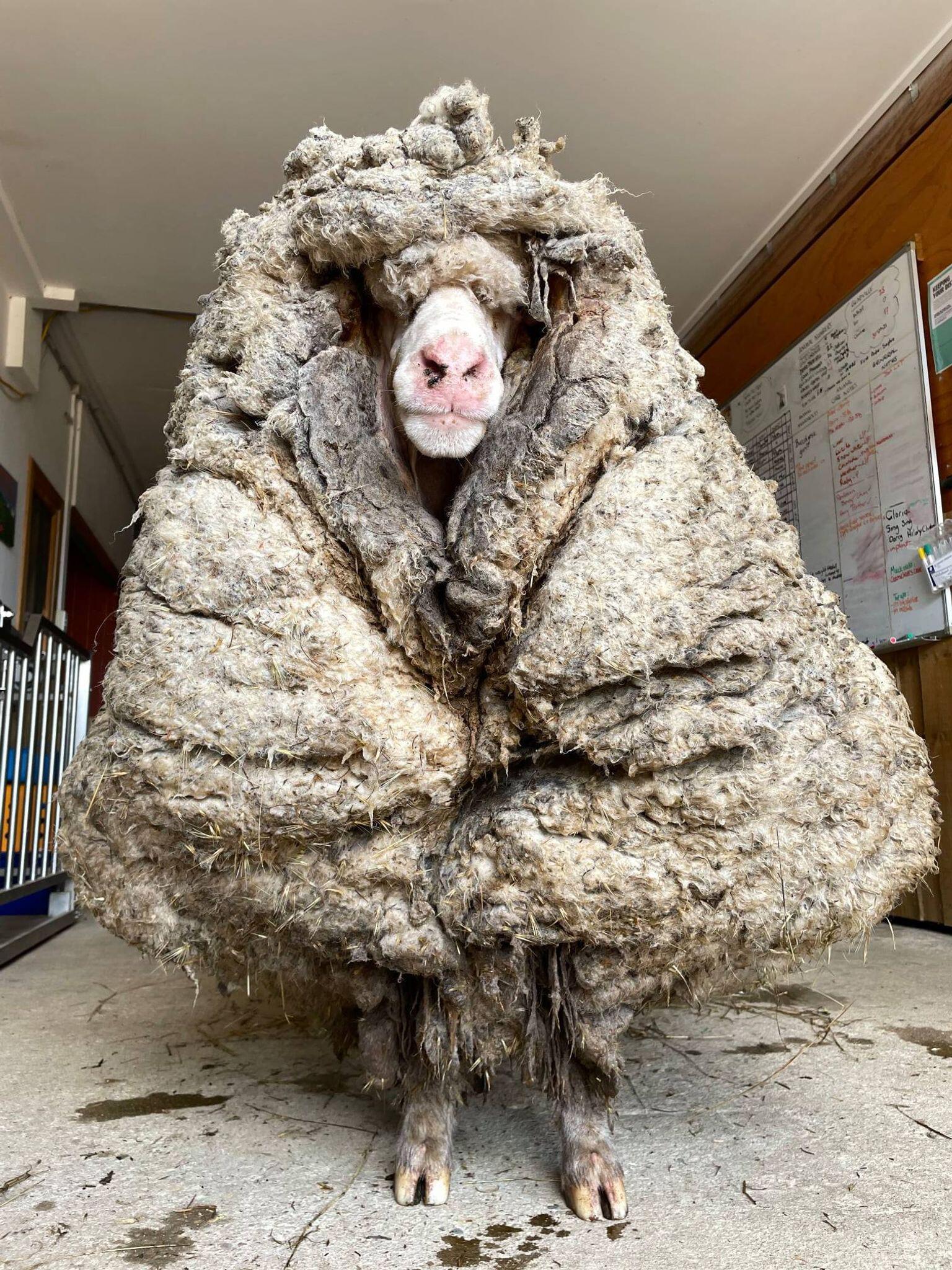 Bild zu Wildes Schaf Baarack in Australien gerettet