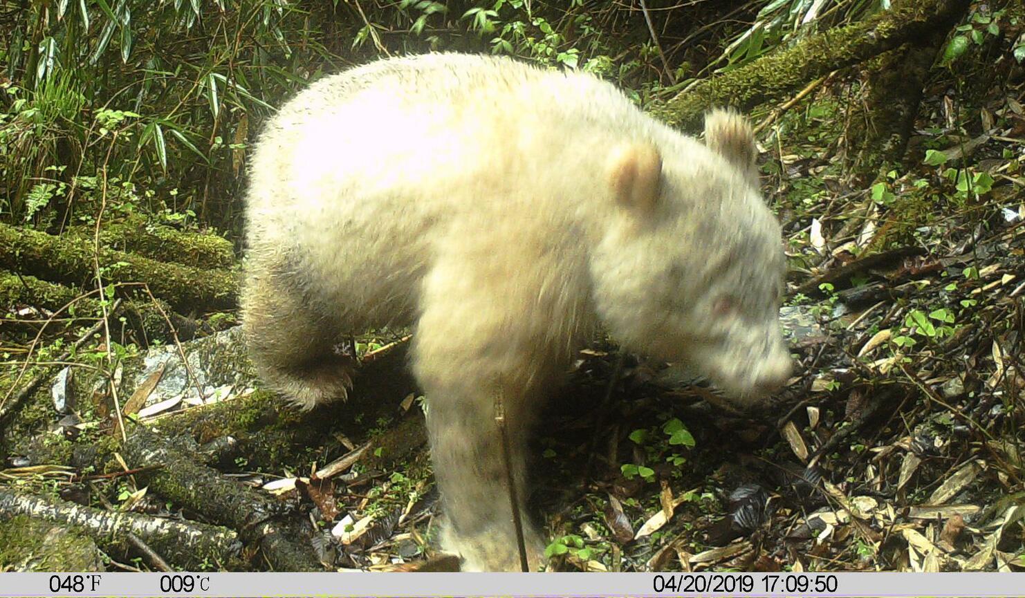 Bild zu Albino-Panda in China
