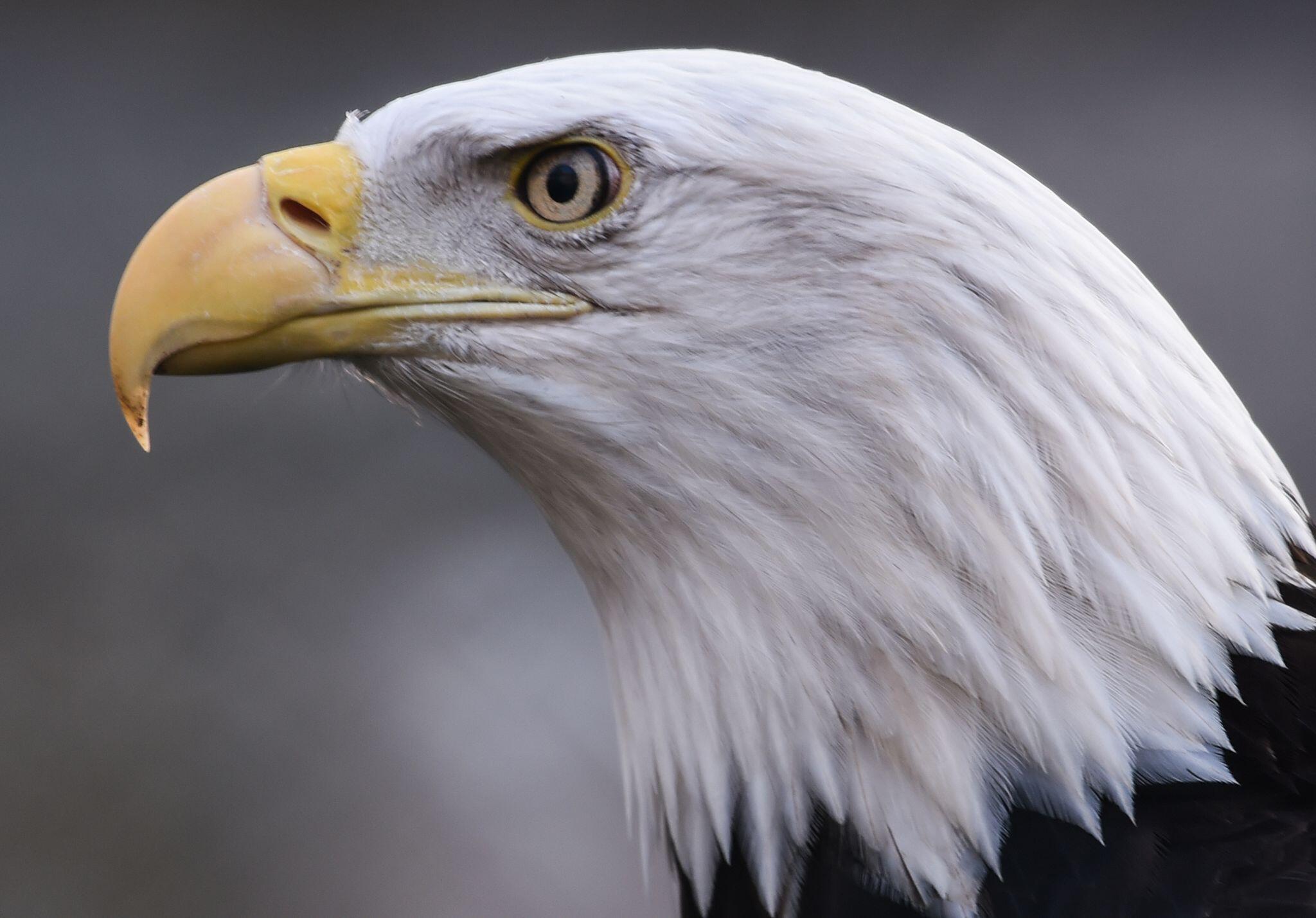Bild zu Weißkopfseeadler