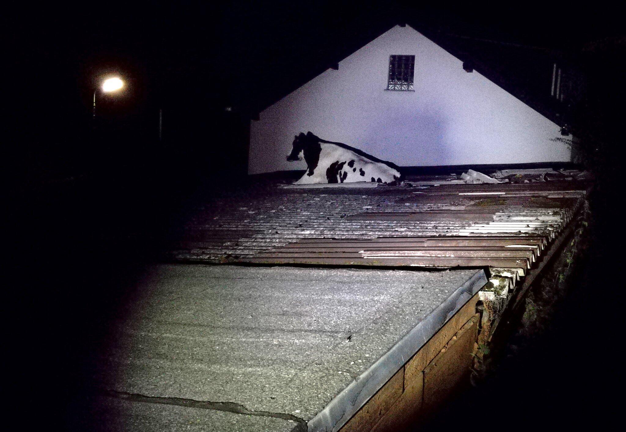 Bild zu Kuh bricht in Hausdach ein