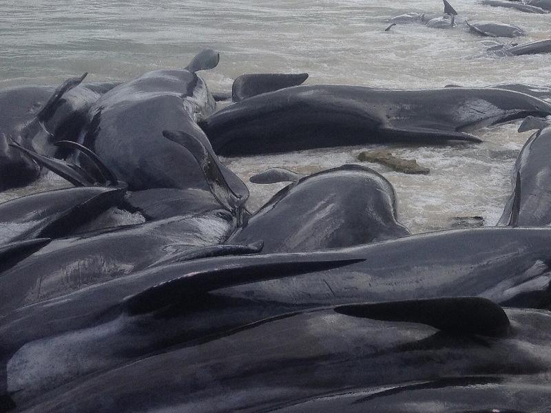 Bild zu Wale gestrandet
