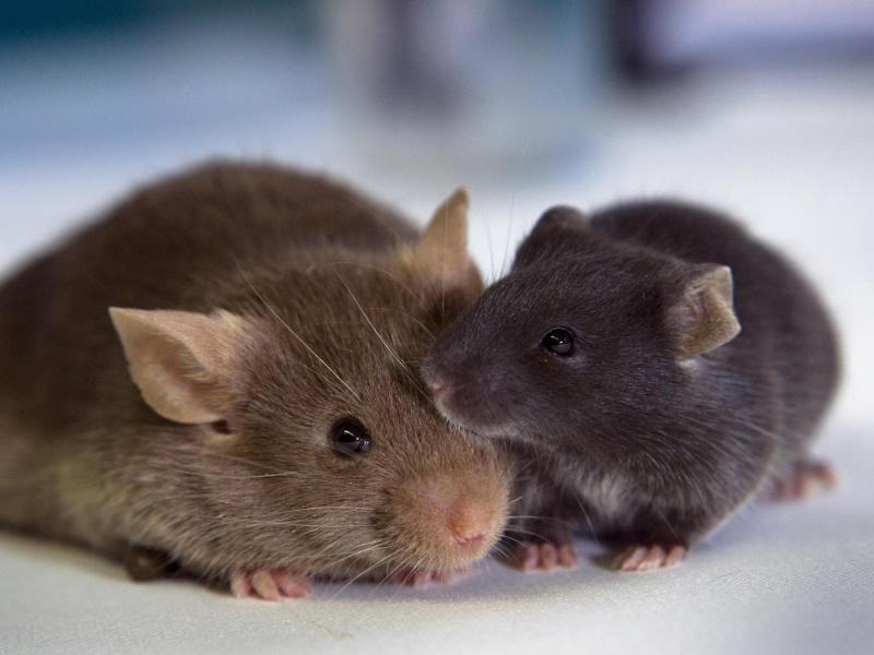 Bild zu Forschungsmäuse