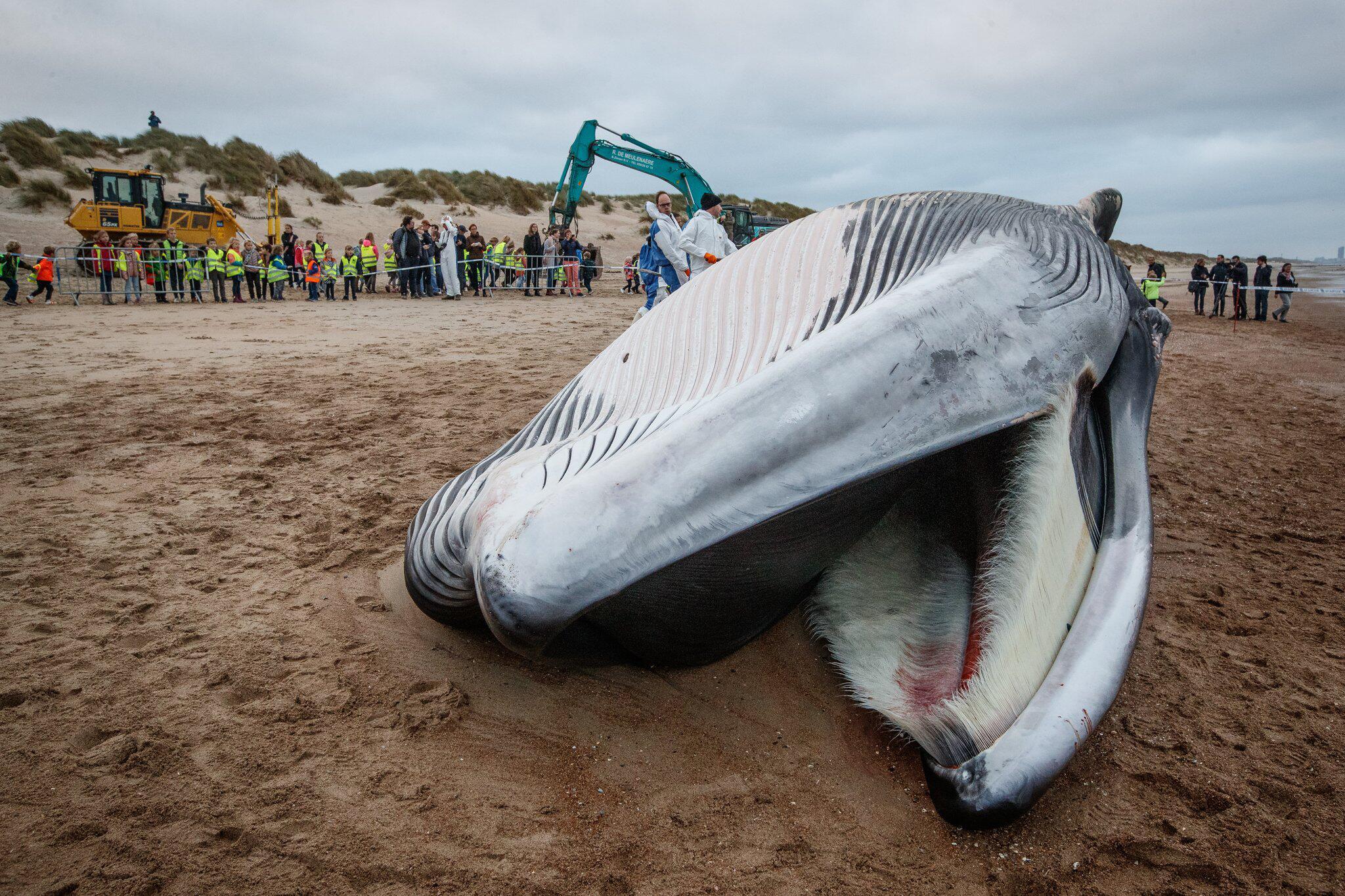 Bild zu Gestrandeter Finnwal in Belgien