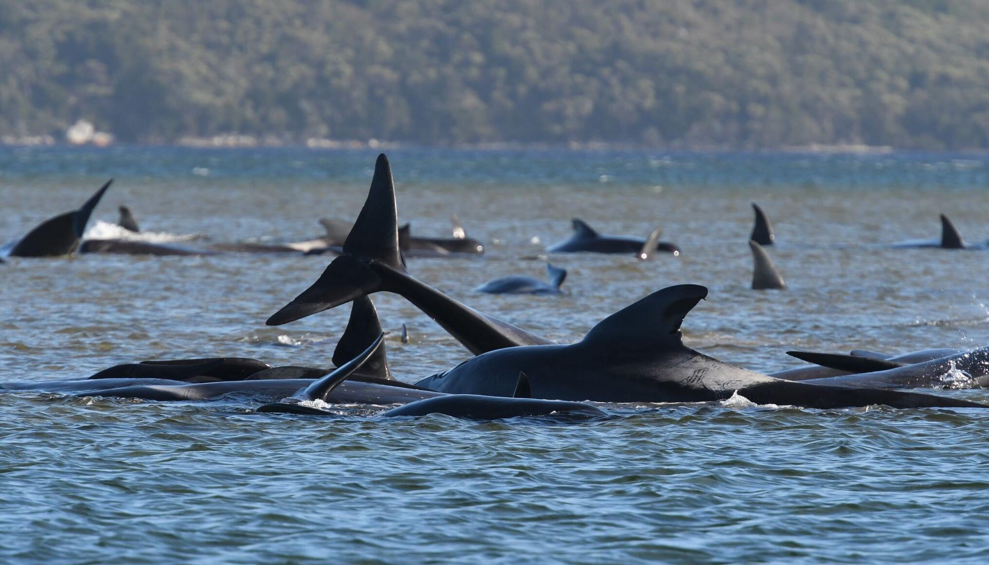 Weitere gestrandete Grindwale vor Küste Australiens entdeckt