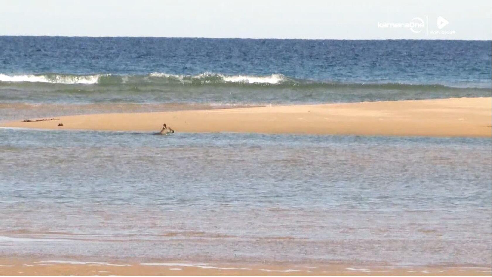 Bild zu Känguru, Schwimmen