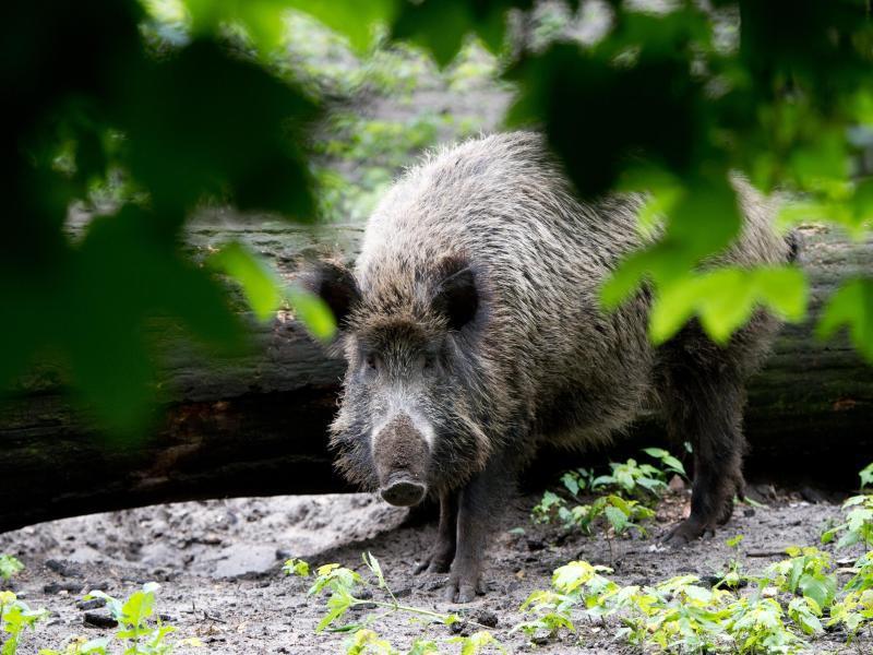 Bild zu Wildschwein-Alarm