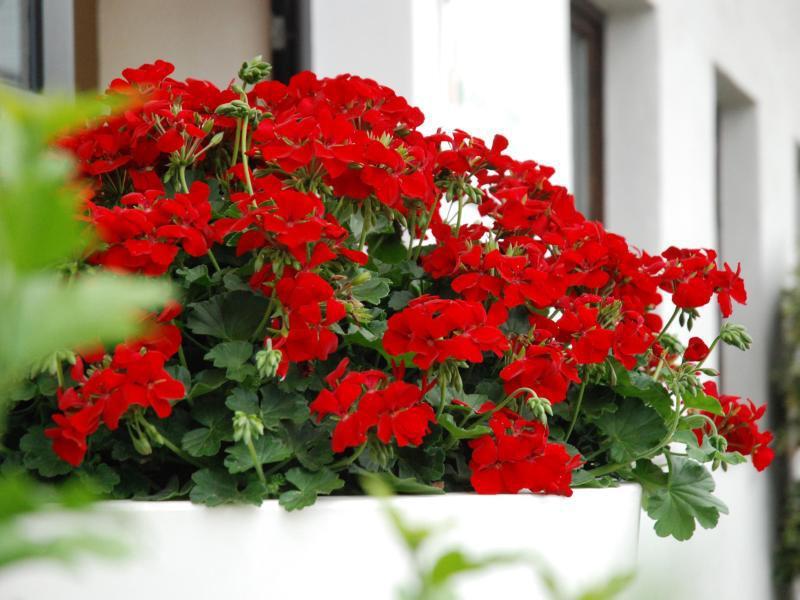 Von k pt 39 n brise bis vroni marathoni die neuen balkonpflanzen 2016 for Halbschattige balkonpflanzen