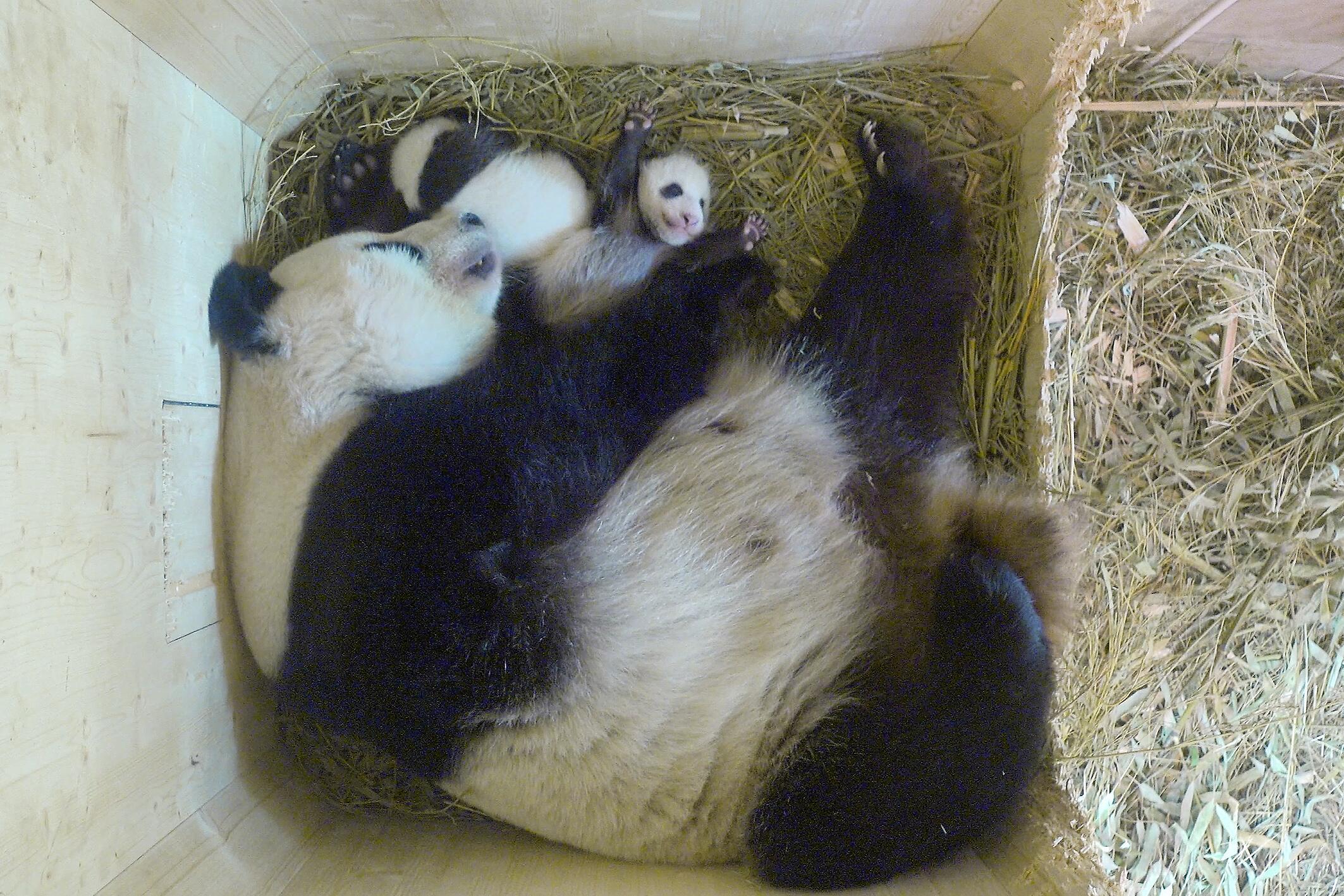 Bild zu Panda-Zwillinge, Tiergarten Schönbrunn