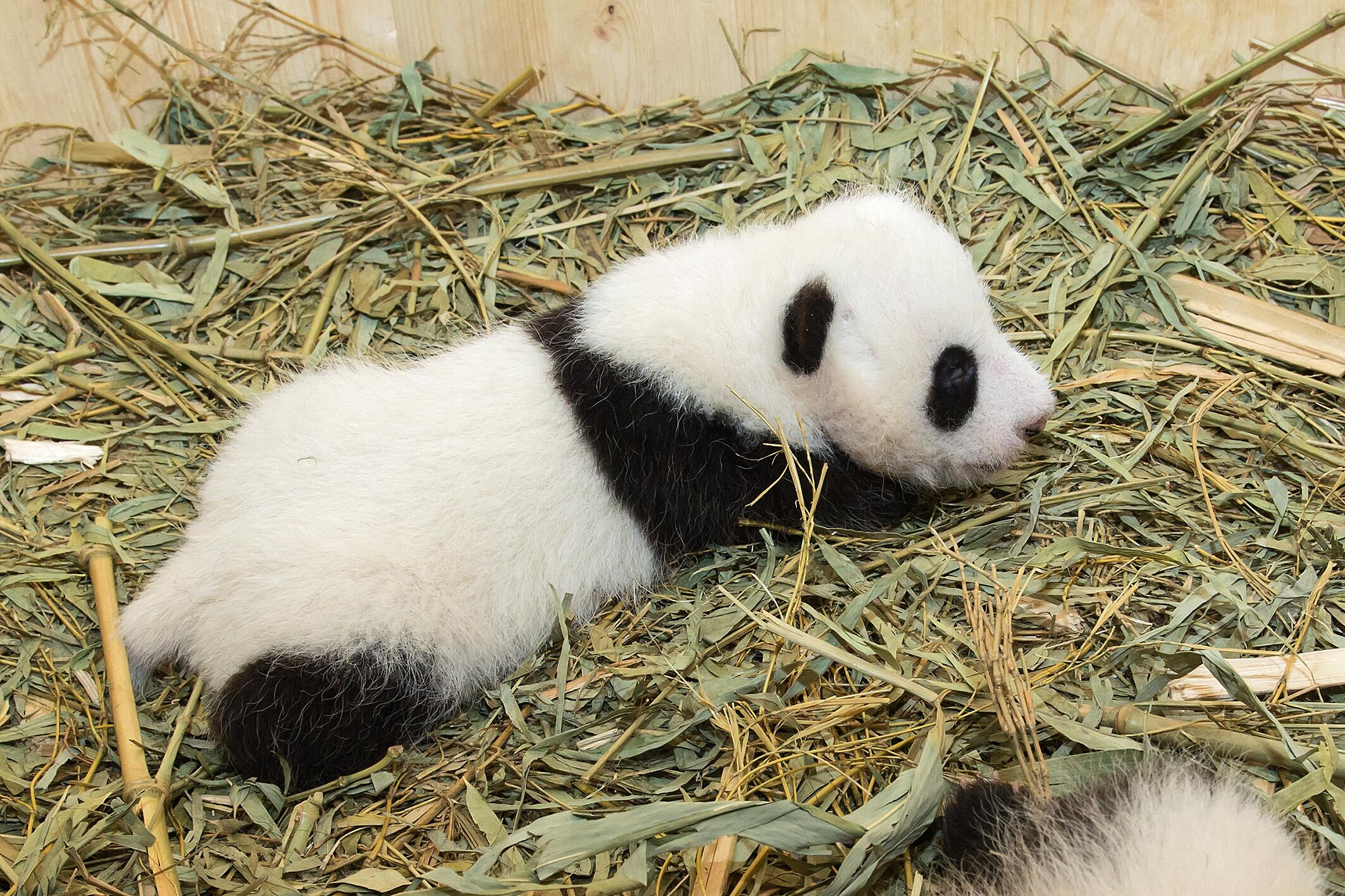 Bild zu Pandas, Zwillinge, Wien, Schönbrunn