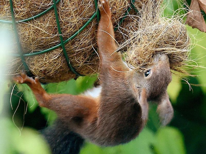 Bild zu Eichhörnchen bei Vorbereitungen