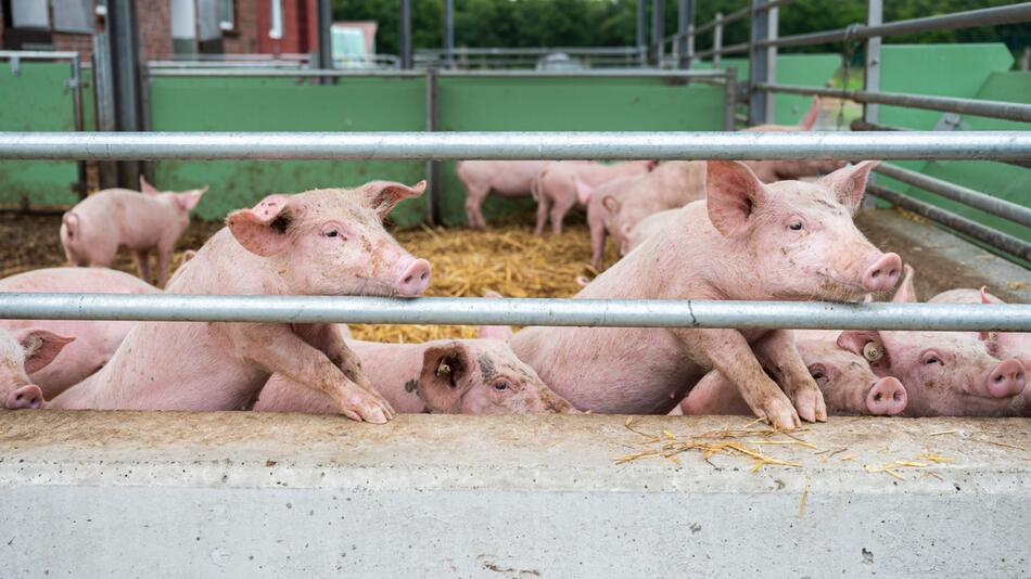Schweinehalter in Niedersachsen in Sorge