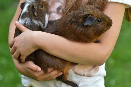Meerschweinchen-Liebe