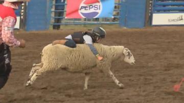 Bild zu Rodeo-Reiter Kind Schaf