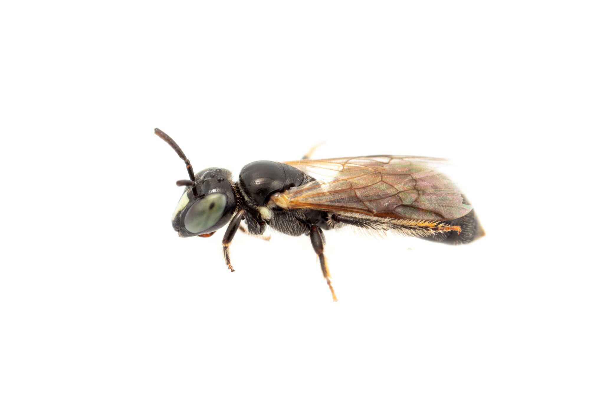 """Bild zu Seit 100 Jahren verschollene Bienenart """"Pharohylaeus lactiferus"""" in Australien entdeckt"""