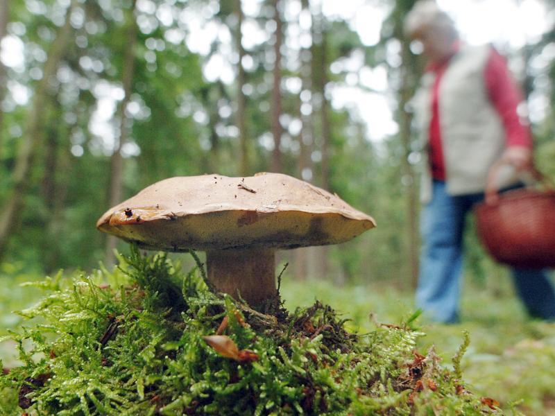 Bild zu Maronenröhrling-Pilz