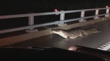 Bild zu Krokodil, Autobahn, Autobahnbrücke, Queensland, Australien