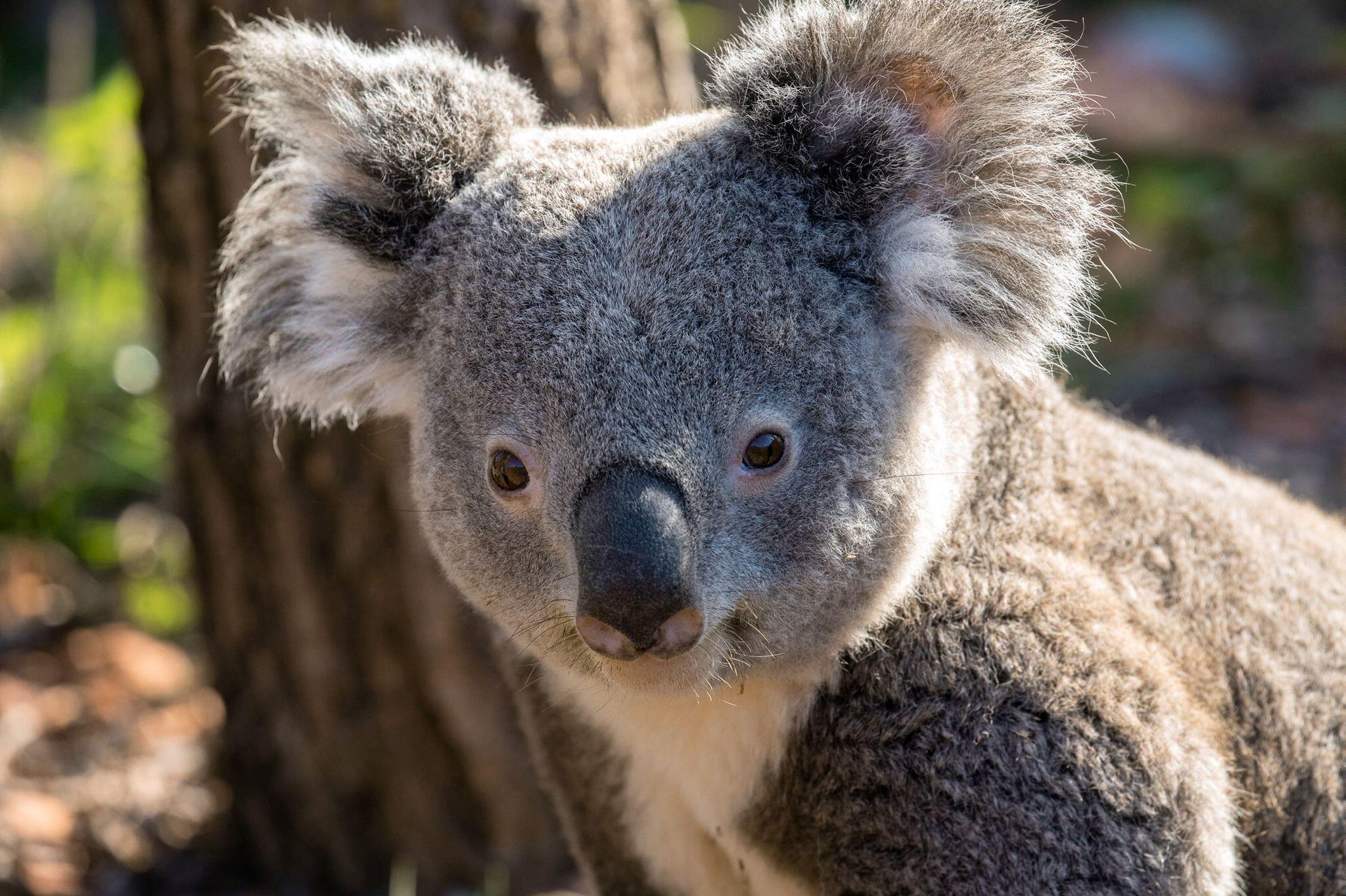 Bild zu Zweites Koala-Männchen im Zoo Zürich gestorben