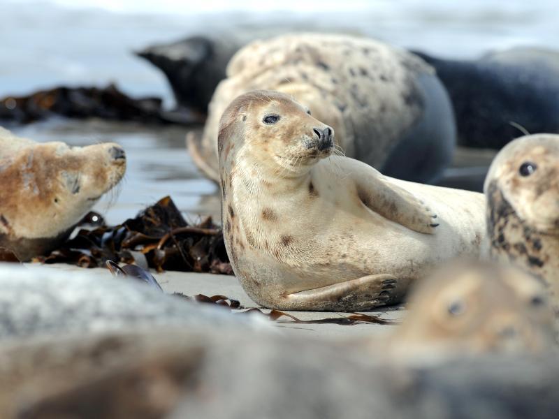 Bild zu Kegelrobben auf Helgoland