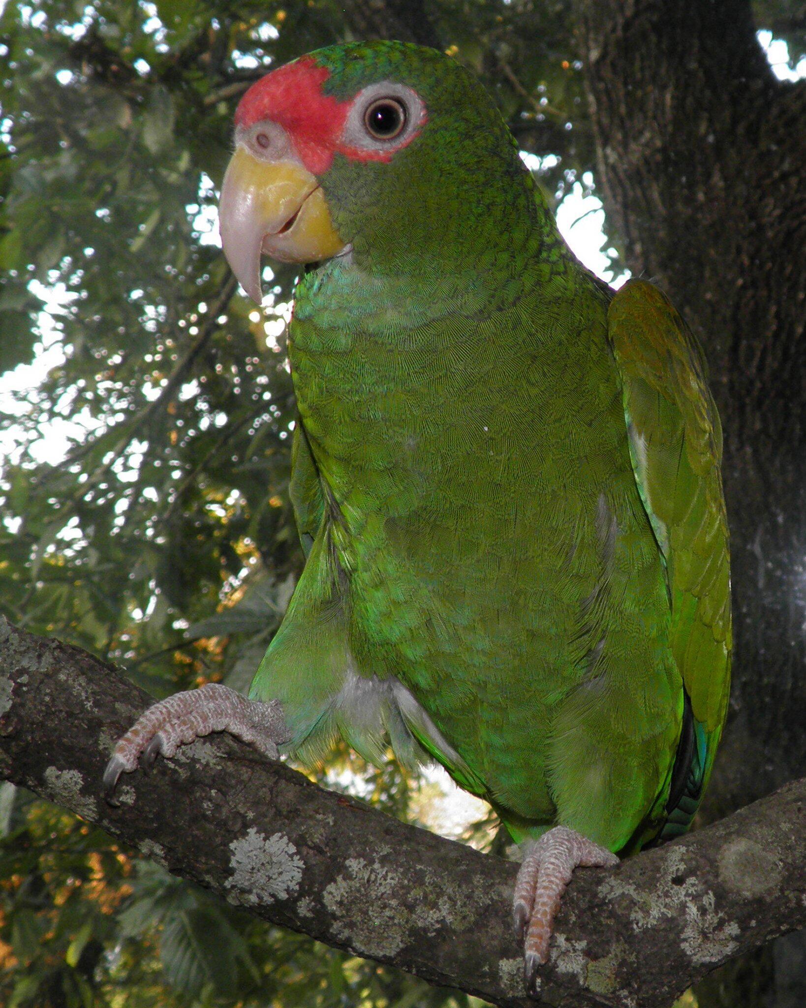 Bild zu Neue Papageienart auf Yukatan entdeckt
