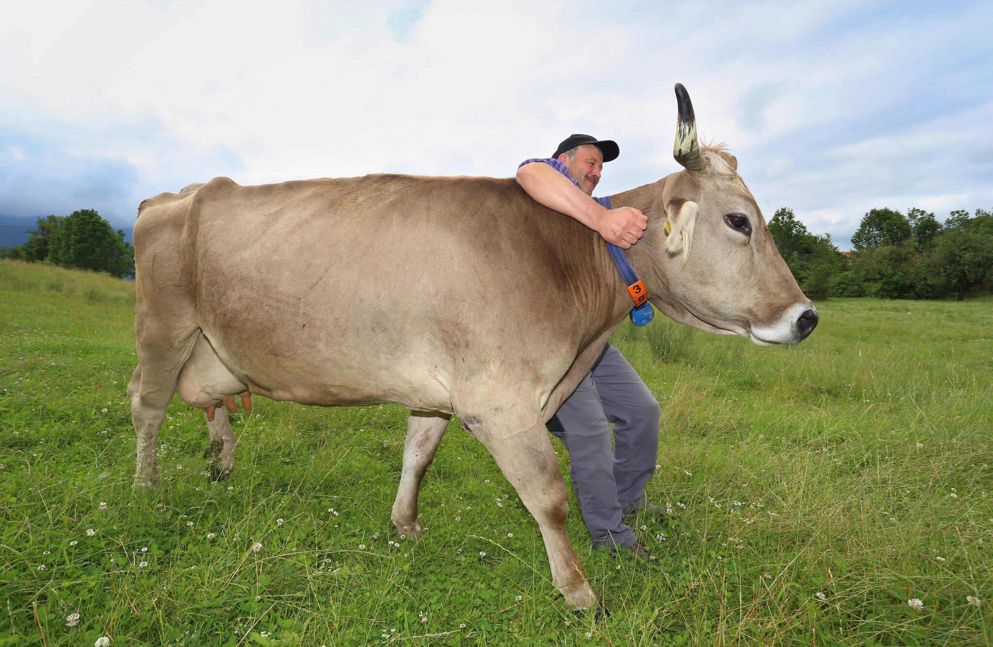 Bild zu Kuh Regina