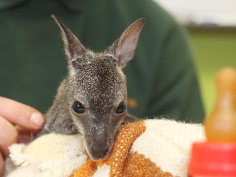 Bild zu Kängurubaby im Tierpark Köthen