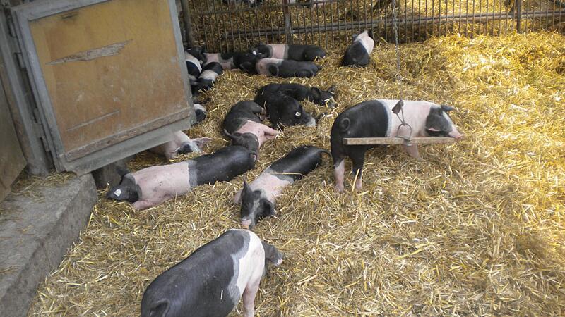 Schweine in den Herrmannsdorfer Landwerkstätten