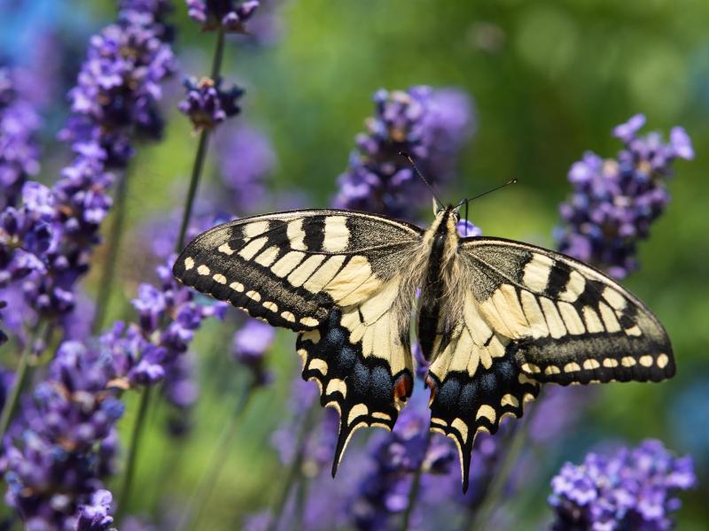 Bild zu Schwalbenschwanz im Blumenbeet