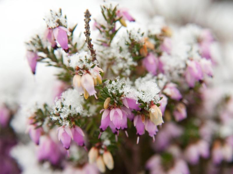 Bild zu Blüten der Schneeheide