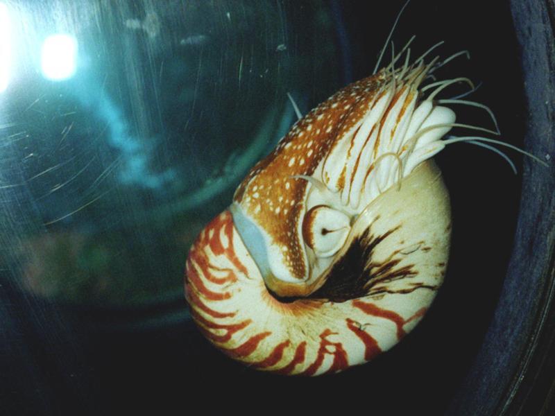 Bild zu Nautilus