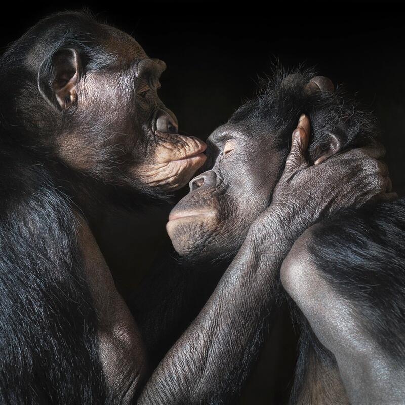 Bild zu Der Bonobo-Kuss
