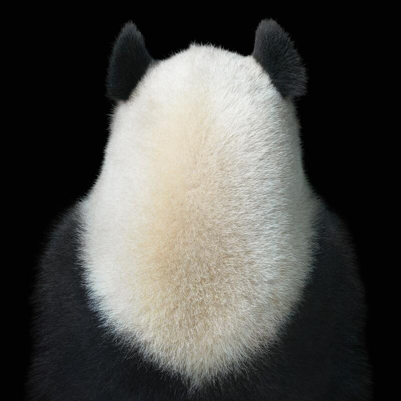Bild zu Schwarz-Weiß-Bild des Pandas